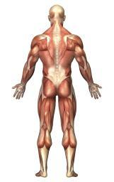 Anatomy of male muscular system, back view Poster Print PSTSTK700146HLARGE