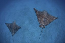 A pair of spotted eagle rays swim over the deep, sandy seafloor near Cocos Island, Costa Rica. This remote, Pacific island is famous for its healthy fish and shark populations Poster Print PSTETH400405ULARGE