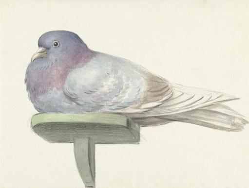 Pigeon Sitting On A Shelf, By Jean Bernard, 1802, Dutch Watercolor Painting. Poster Print