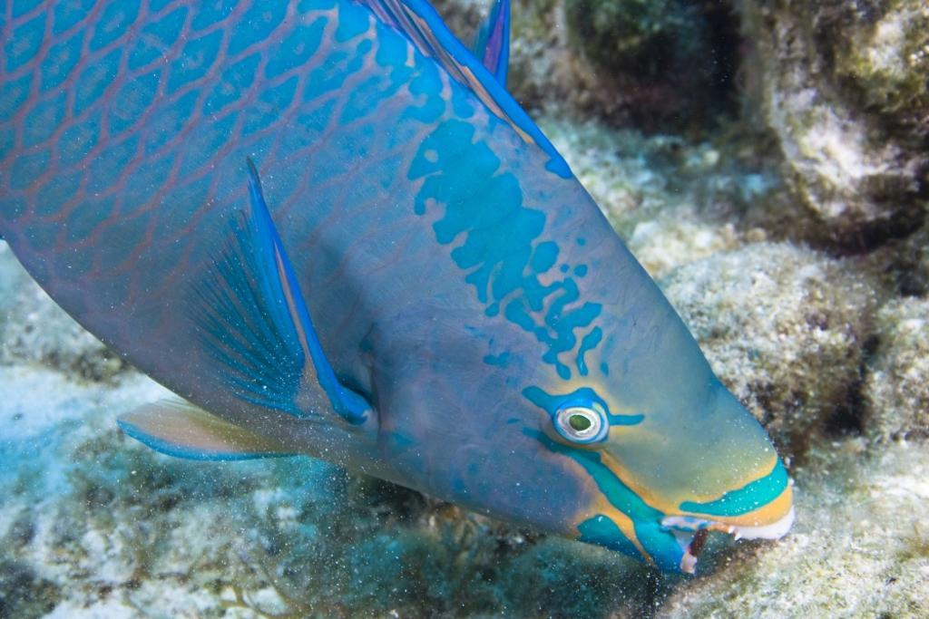 A queen parrotfish feeding, Bonaire, Netherlands Antilles, Caribbean. Poster Print by VWPics/Stocktrek Images