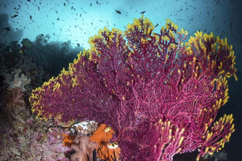 A purple sea fan is adorned with yellow fringe on a coral reef Poster Print by Brook Peterson/Stocktrek Images