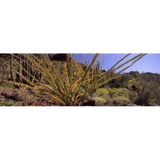 Panoramic Images PPI127403L Plants on a landscape Organ Pipe Cactus National Monument Arizona USA Poster Print by Panoramic Images - 36 x 12