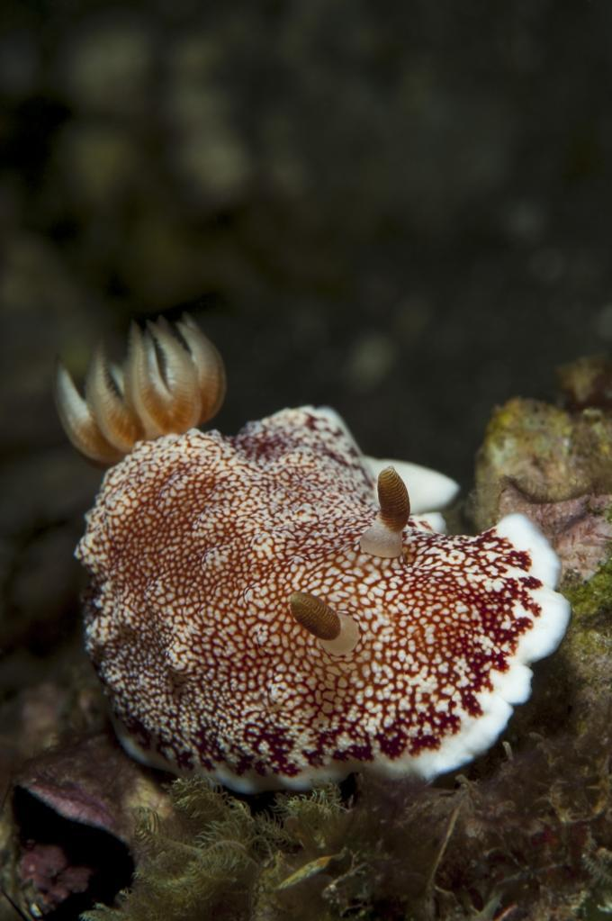 A red-netted chromodoris, head/side view showing cerata, Komodo National Park, Indonesia Poster Print