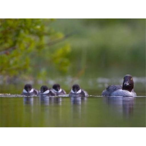 Posterazzi PDDCN02GLU0010 British Columbia Common Goldeneye Chicks Swimming Poster Print by Gary Luhm - 26 x 20 in.