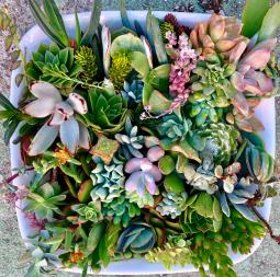 40 Premium Beautiful Succulent Cuttings Collection