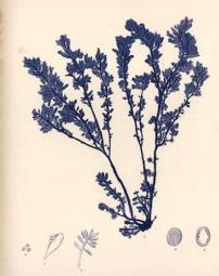 Blue Botanical Study III Poster Print by Kimberly Poloson PDXPOL318SMALL