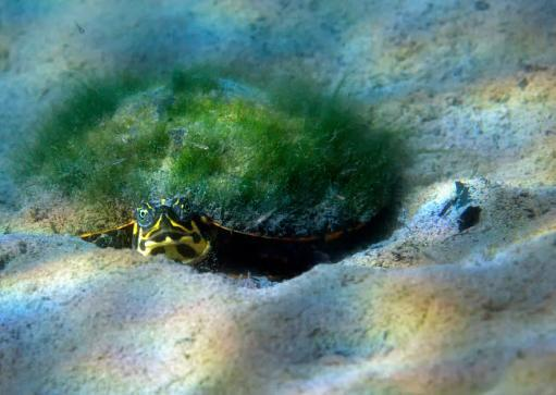 Moss growth on the shell of a map turtle laying on the sandy bottom of Morrison Springs, Florida Poster Print by Michael Wood/Stocktrek Images EUPM4EYDHCGBON78