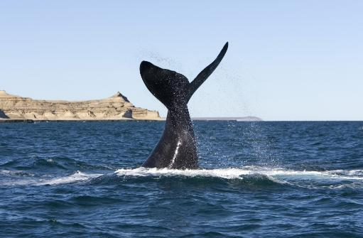 A southern right whale slaps the surface of the water with its flukes, Argentina. Poster Print by VWPics/Stocktrek Images
