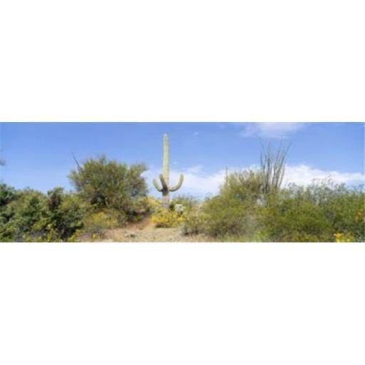 Panoramic Images PPI64297L Low angle view of a cactus among bushes Tucson Arizona USA Poster Print by Panoramic Images - 36 x 12