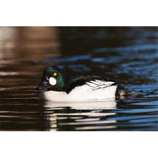 Posterazzi PDDCN02RBR0028 British Columbia Vancouver Common Goldeneye Duck Poster Print by Rick a Brown - 20 x 13 in.