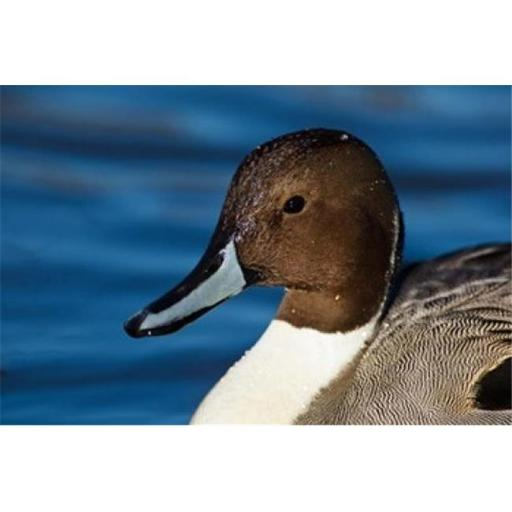 Posterazzi PDDCN02RBR0042 British Columbia Westham Island Pintail Duck Poster Print by Rick a Brown - 29 x 19 in.