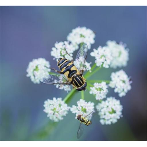 Posterazzi DPI12304366LARGE Two Hover Flies On A White Wildflower - Ontario Canada Poster Print by Julie DeRoche, 32 x 28 - Large