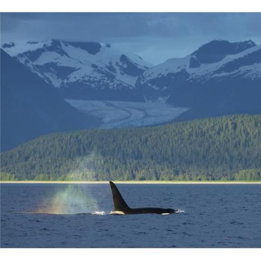 The Blow of A Male Orca Whale Catches The Evening Light Creating A Rainbow in Its Mist with Herbert Glacier in The B Poster Print - 16 x 14 in.