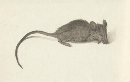 Mouse, Facing Right, By Jean Bernard, C. 1780-1830, Dutch Watercolor Painting. Poster Print