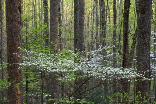 Dogwood trees in a forest, Little River, Tremont, Great Smoky Mountains National Park, Tennessee, USA Poster Print