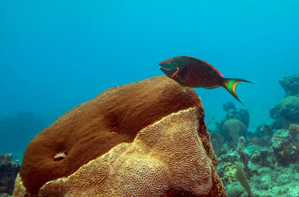 A Rainbow Parrotfish swimming over brain coral Poster Print by Michael Wood/Stocktrek Images