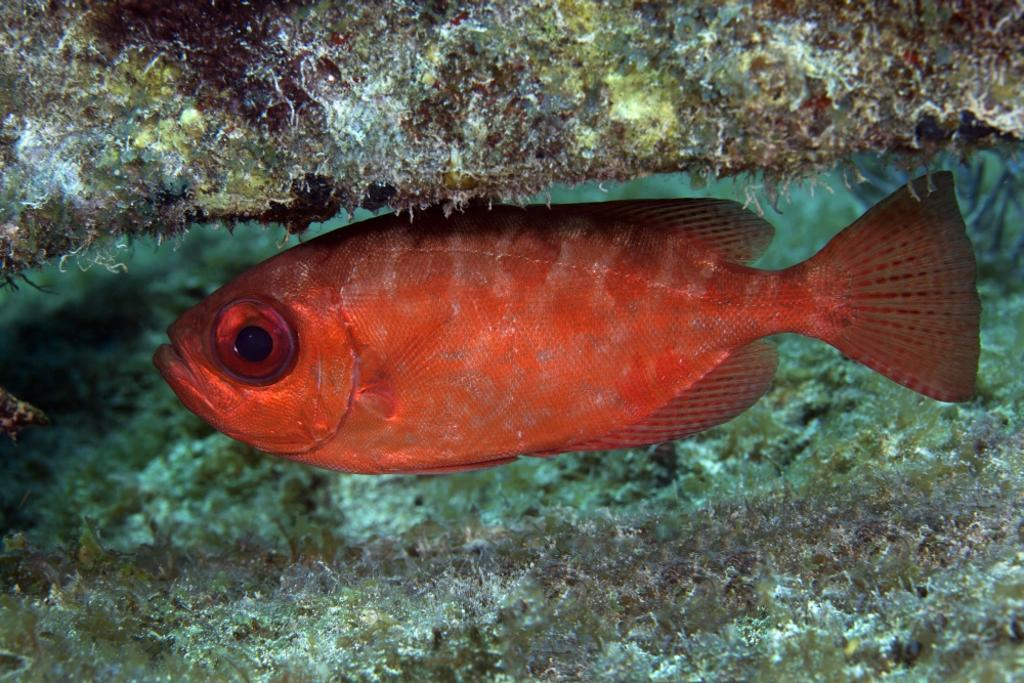 A red Bigeye hovers under a coral reef ledge in the Atlantic Ocean off the coast of Key Largo, Florida Poster Print