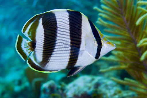 A Banded Butterflyfish swims by sea ferns and coral reef in the Atlantic Ocean off the coast of Key Largo, Florida Poster Print