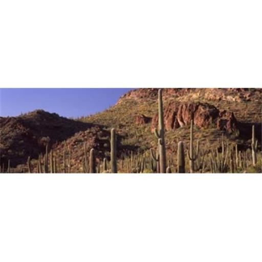 Panoramic Images PPI127401L Cacti on a landscape Organ Pipe Cactus National Monument Arizona USA Poster Print by Panoramic Images - 36 x 12