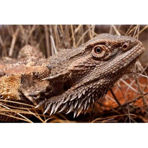 Posterazzi PDDAU01PSO0064 Australia Central Bearded Dragon Lizard Outback Poster Print by Paul Souders - 29 x 19 in.