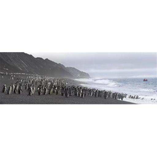 Chinstrap penguins marching to the sea Bailey Head Deception Island Antarctica Poster Print by - 36 x 12