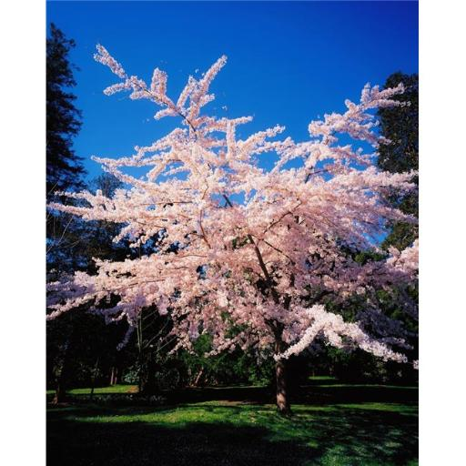 Posterazzi DPI1802806LARGE Powerscourt Gardens Powerscourt Estate Co Wicklow Ireland Tree in Blossom Poster Print by The Irish Image Collection, 26 x