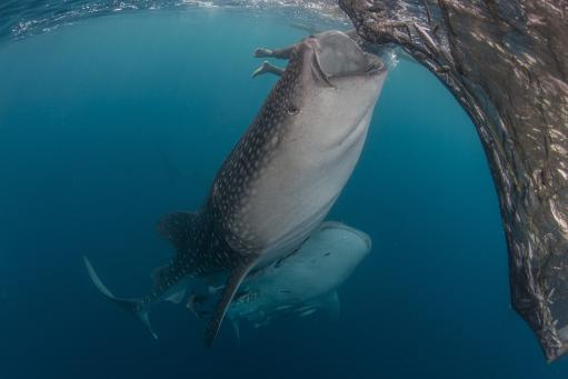 Pair of whale sharks sucking at fishing nets for scraps of fish, Cenderawasih Bay, West Papua, Indonesia Poster Print