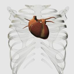 Medical illustration of human heart and rib cage, three dimensional view Poster Print PSTSTK700268H