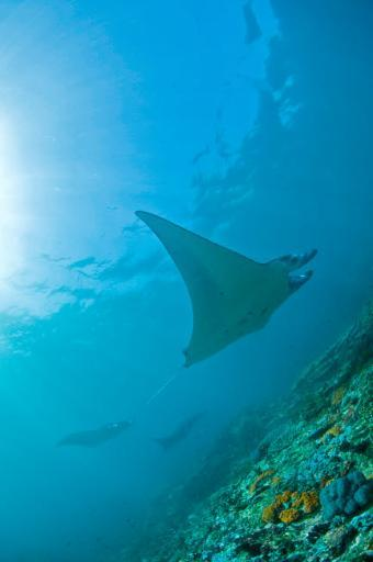 Group of manta rays in blue water, Komodo, Indonesia Poster Print by Mathieu Meur/Stocktrek Images YGASTXVO5S9M83FU