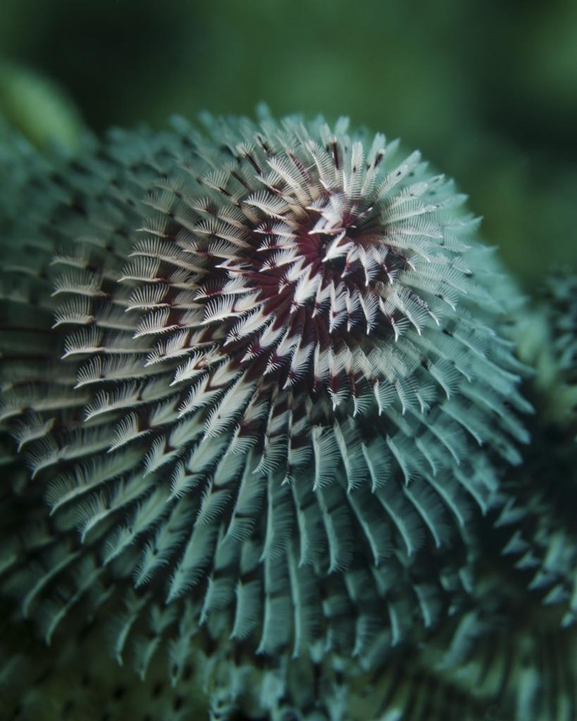 A red and white Christmas tree worm in Cozumel, Mexico Poster Print