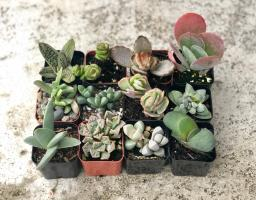 2 inch Collection Of 12 Fully Rooted Unique Rare Succulent Plants