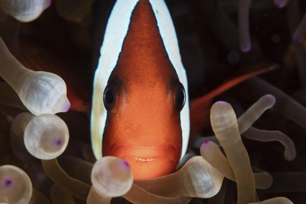 A red and black anemonefish swims among the tentacles of its host anemone. Poster Print by Ethan Daniels/Stocktrek Images
