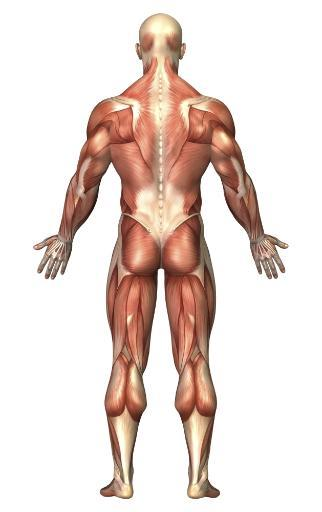 Anatomy of male muscular system, back view Poster Print DLBR4ER5BYPTLBSK