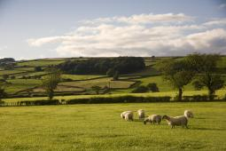 Sheep In A Field, Yorkshire, England PosterPrint DPI1831281