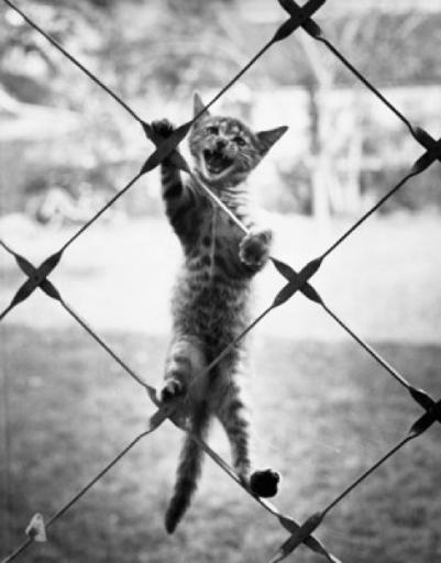 Cat climbing a chain-link fence Poster Print