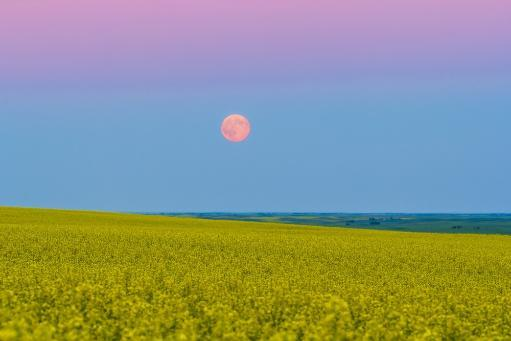 July 12, 2014 - The supermoon rising above a canola field in southern Alberta, Canada. The moon is in the blue of Earth's shadow and below the.