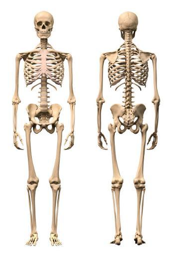 Anatomy of male human skeleton, front view and back view Poster Print by Leonello Calvetti/Stocktrek Images RUJIXZ5SUFEW4UGP