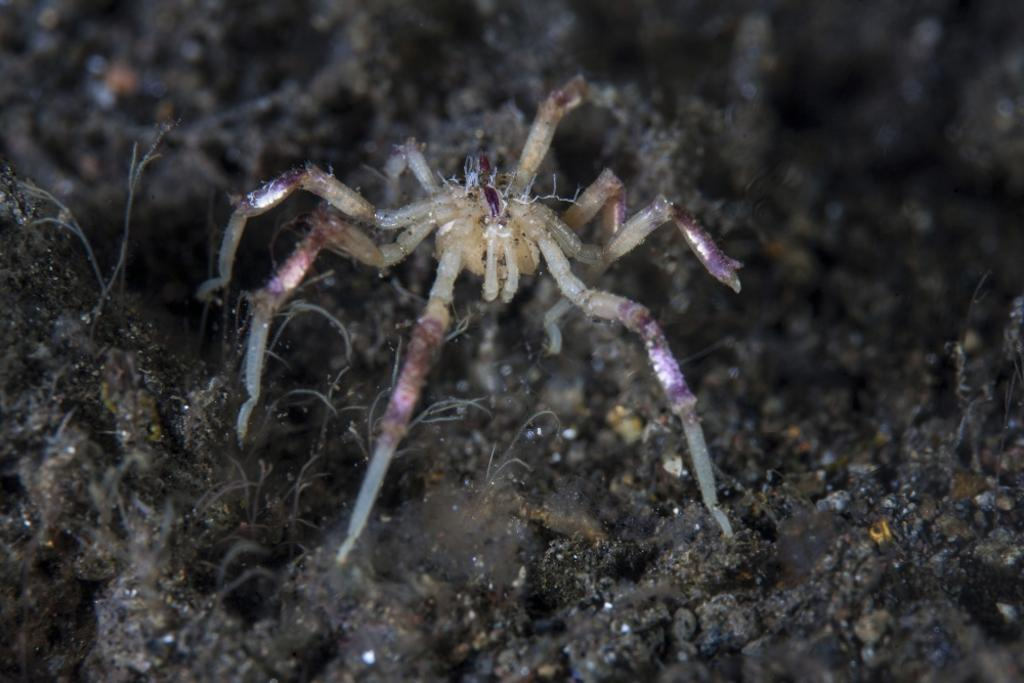 A pycnogonid, or sea spider, crawls along the mucky seafloor of Komodo National Park, Indonesia. This tropical region in Indonesia is known for its spectacular coral reefs and high marine biodiversity Poster Print