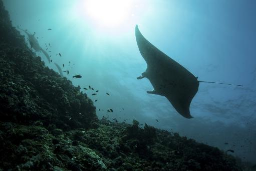 A manta ray swims through a current-swept channel in Indonesia Poster Print EJNVM5A9KWGMI8XV