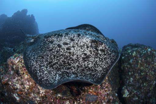 A large black-blotched stingray swims over the rocky seafloor near Cocos Island, Costa Rica. This remote, Pacific island is famous for its healthy.