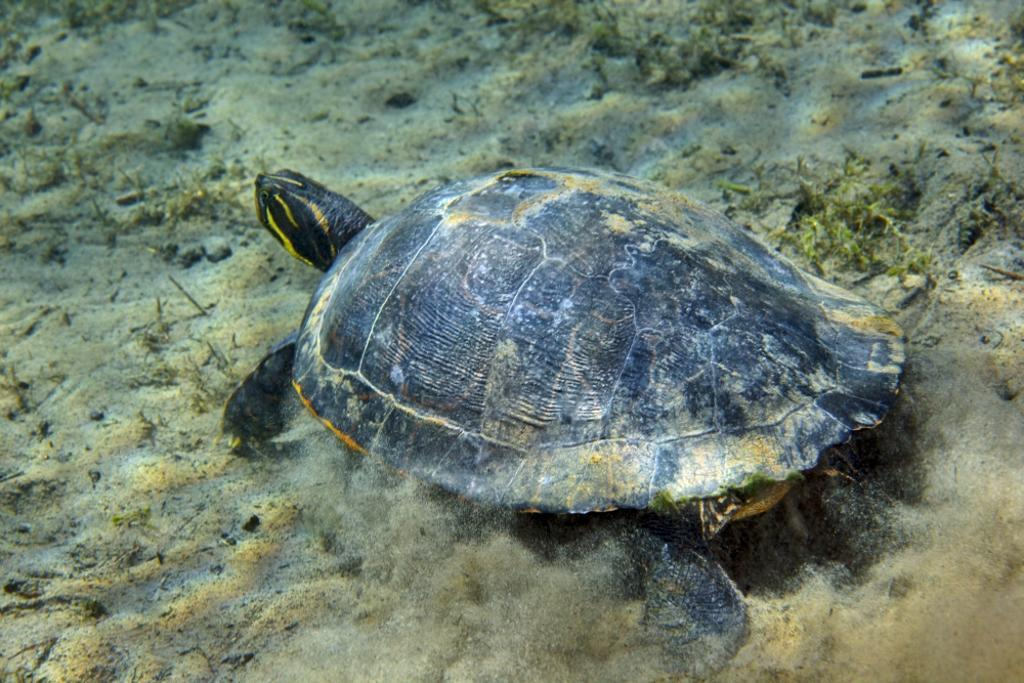 A Red-bellied Cooter turtle touches down on the sandy bottom in the clear freshwater of the Morrison Springs river bottom at the state park near Red Bay, Florida Poster Print