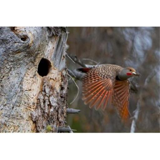 Posterazzi PDDCN02GLU0084 British Columbia Red-Shafted Flicker Bird Poster Print by Gary Luhm - 26 x 17 in.