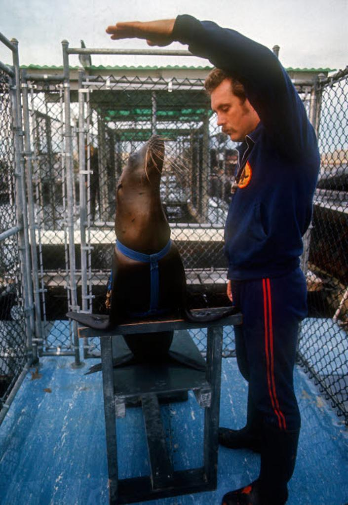 A Project Quickfind trainer training a young California sea lion Poster Print by Michael Wood/Stocktrek Images