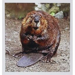3dRose Beaver - Greeting Cards, 6 x 6 inches, set of 6 (gc_4660_1)