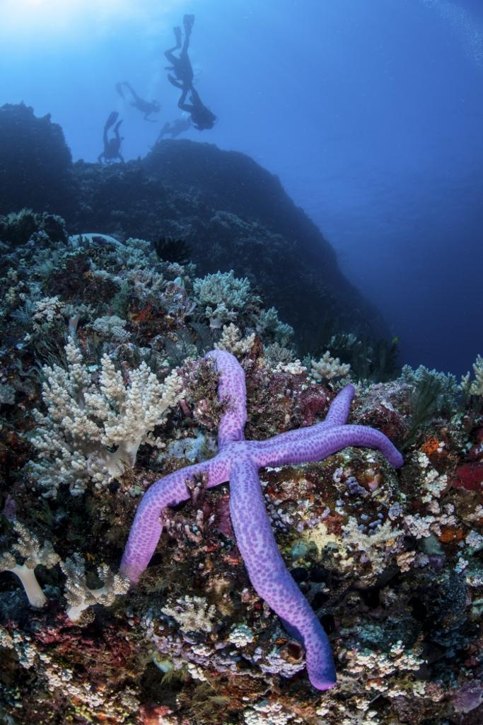 A purple sea star clings to a diverse reef near the island of Bangka, Indonesia. This beautiful, tropical region is home to an incredible variety of marine life Poster Print