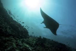 A manta ray swims through a current-swept channel in Indonesia Poster Print PSTETH400807U