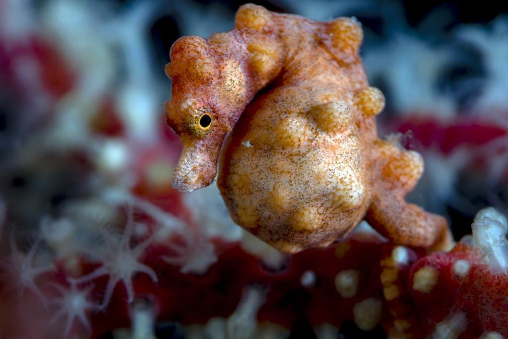 A pregnant pygmy seahorse, Cebu, Philippines Poster Print by Bruce Shafer/Stocktrek Images