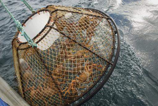 Crab Pot With Brown Crab Is Hauled Up Over The Side Of The F/V Morgan Anne During The Commercial Brown Crab Fishing Season In Icy Strait Of.