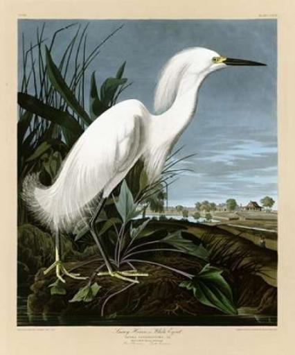 Snowy Heron or White Egret Poster Print by John James Audubon