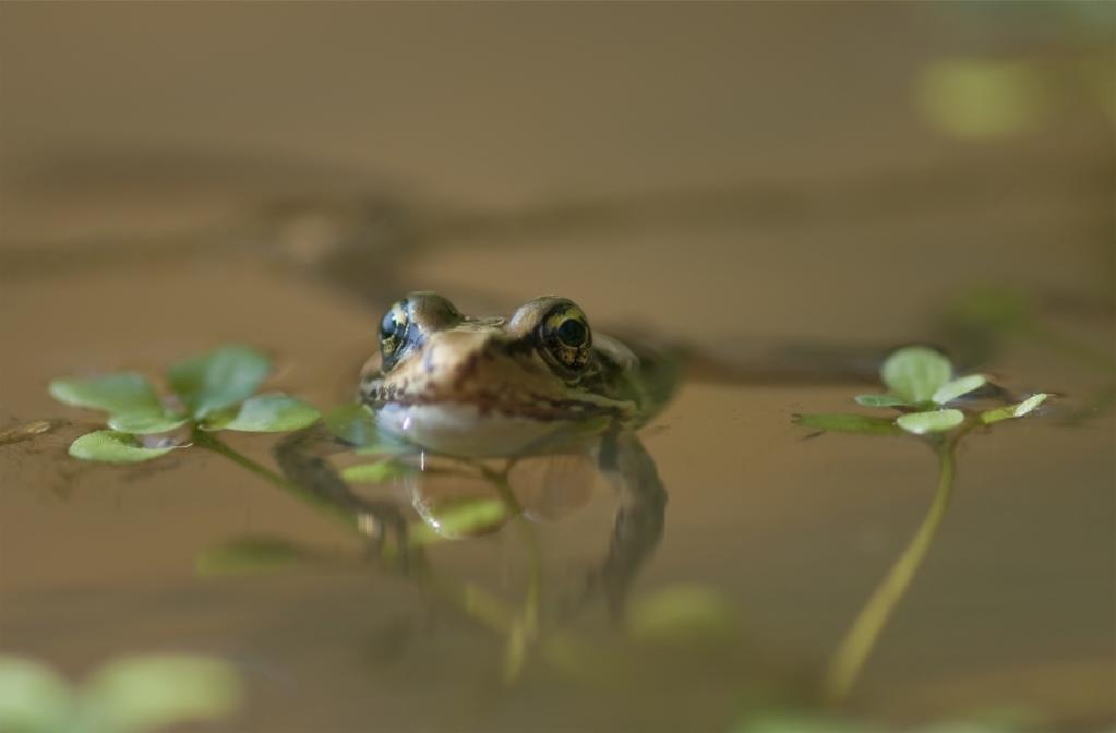 A Red-Legged Frog Floats In A Pond; Astoria, Oregon, United States Of America PosterPrint